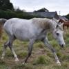portrait cheval Ismaël de Bel Air