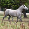 portrait cheval Koundy de Bel Air
