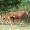 portrait cheval Assam de Bel Air
