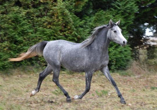 portrait cheval Mufaja'a de Bel Air