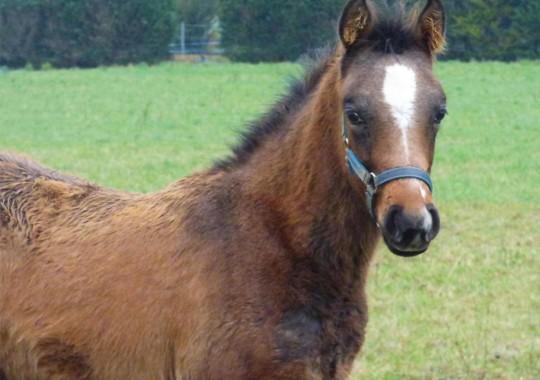 portrait cheval Ottaké de Bel Air