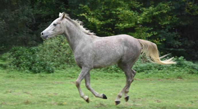 portrait cheval Mao de Bel Air