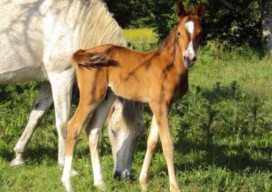 portrait cheval Kekoss' de Bel Air