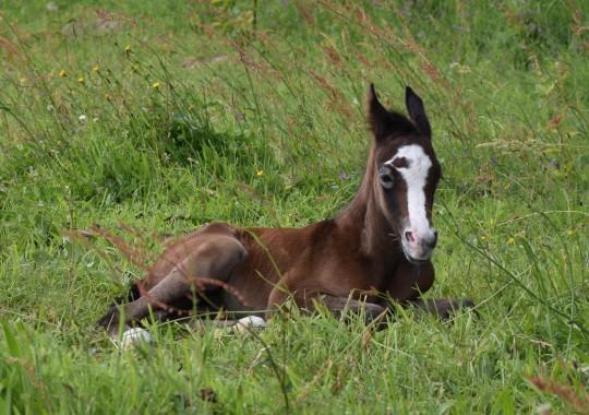 portrait cheval Medji de Bel Air