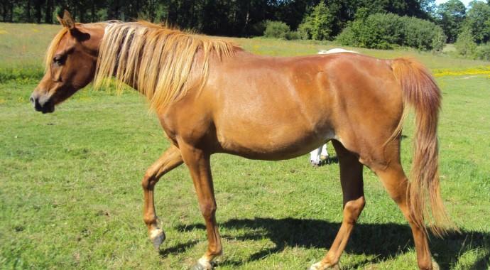 portrait cheval Jazz de Bel Air