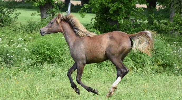 portrait cheval Koko Sha de Bel Air