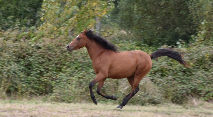 portrait cheval Hadia de Bel Air