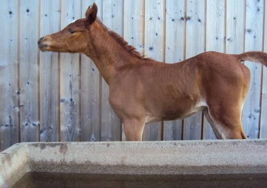 portrait cheval Al Raïah de Bel Air