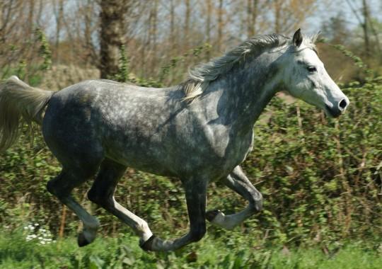 portrait cheval Dubaï de Bel Air