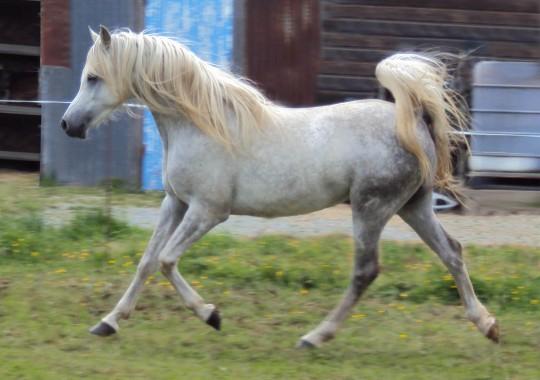 portrait cheval Shalimar des Lys