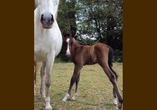 portrait cheval Djamil de Bel Air