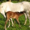 portrait cheval Indika de Bel Air