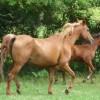 portrait cheval Selika des Pins
