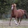 portrait cheval Avalon Charmm