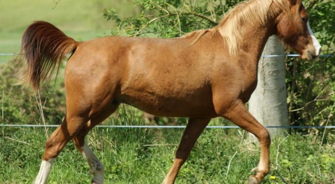 portrait cheval Tao de Bel Air