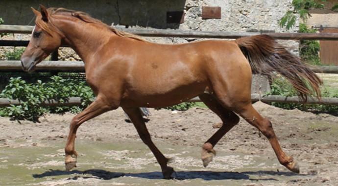 portrait cheval Lira des Pins