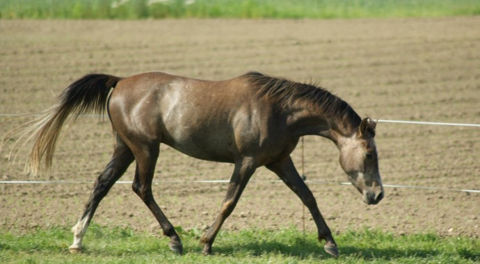 portrait cheval Chakib de Beline