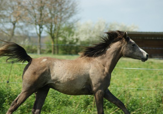 portrait cheval Farouk de Beline