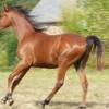 portrait cheval Tasman de Bel Air