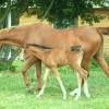 portrait cheval Tia de Bel Air