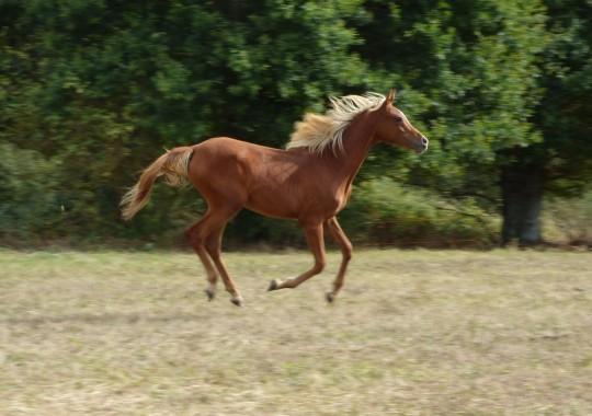 portrait cheval Kim de Bel Air